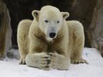 polarbear Knut in meditation ( ursus maritimus )