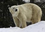 polar bear family with seal ( ursus maritimus )