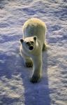 young polar bear ( ursus maritimus )