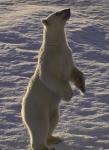standing polar bear ( ursus maritimus )