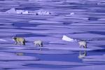 polar bear family ( ursus maritimus )