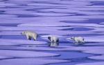 Eisbärenfamilie ( ursus maritimus )