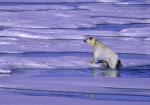 lean polar bear ( ursus maritimus )