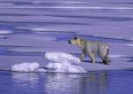 magerer Eisbär ( ursus maritimus )