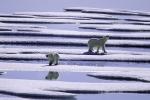polar bears in Peel sound ( ursus maritimus )