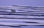 Eisbären im Peel Sound ( ursus maritimus )