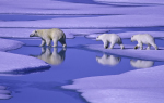 polar bear family in summer ice ( ursus maritimus )