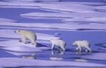 Eisbärenfamilie im Sommereis ( ursus maritimus )