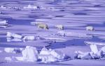 polar bear family in pack ice ( ursus maritimus )