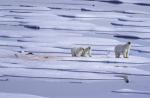 polar bear family with dead seal ( ursus maritimus )