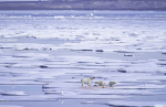 polar bear family at seal cracass ( ursus maritimus )