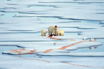 polar bear family at seal cracass ( ursus maritimus, larus hyperboreus )