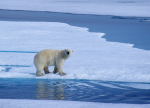 polar bear in northwest passage ( ursus maritimus )