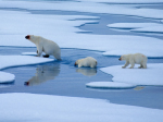 polar bear family in summer ice ( ursus maritimus )