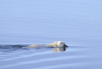swimming polar bear ( ursus maritimus )