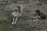 Schlittenhunde im Sommer