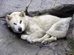 grönländischer Schlittenhund im Sommer
