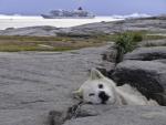 Grönländischer Schlittenhund und MS EUROPA