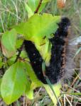 Raupe des Brombeerspinners ( macrothylacia rubi )