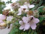 Schwebfliege auf Brombeerblüte ( episyrphus balteatus )