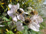 bee on black berry flowers