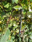 southern hawker ( aeshna cyanea )
