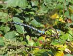 Blaugrüne Mosaikjungfer ( aeshna cyanea )