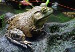 bullfrog ( rana catesbeiana )