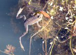 spotted frog ( rana luteivenstris )