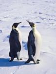 emperor penguins ( aptenodytes forsteri )