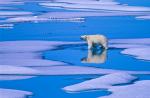 Junger Eisbär mit Spiegelung ( ursus maritimus )
