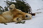 polar bear Knut with christmas tree ( ursus maritimus )