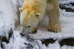 polar bear in snow ( ursus maritimus )