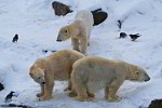 polar bears in snow ( ursus maritimus )