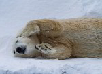 relaxing polar bear ( ursus maritimus )