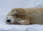 Eisbär relaxt ( ursus maritimus )