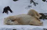 Eisbär und Nebelkrähe ( ursus maritimus, corvus corone )