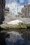 Eisbärenspiegelung, ursus maritimus