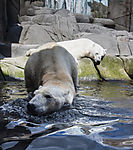 polar bears in zoo, ursus maritimus