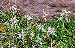 Raues Läusekraut, pedicularis hirsuta