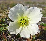 svalbard poppy, papaver dahlianum