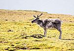 Rentier uaf Spitzbergen, rangifer tarandus platyrhynchus