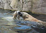playing polar bears in zoo, ursus maritimus