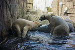 Eisbären im Zoo, ursus maritimus