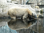 polar bear reflection, ursus maritimus