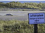 junge Kegelrobbe auf Flugplatz von Helgoland, Halichoerus grypus