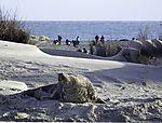 Kegelrobbe auf Helgoländer Düne, Halichoerus prypus