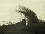 junge Kegelrobbe auf Helgoländer Düne, Halichoerus prypus
