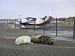 Kegelrobbe säugt auf Helgoländer Flugplatz, Halichoerus prypus