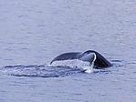 Buckelwal im Kattfjorden, Megaptera novaeangliae